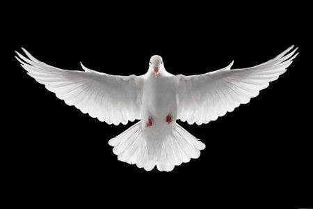 비행 흰색 비둘기의 전면 프로필 절연