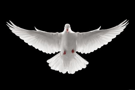 front profile of a flying white dove, isolated photo