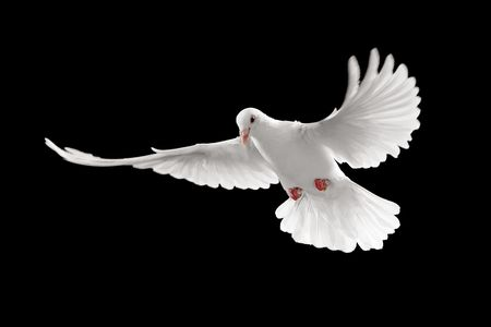 white dove: flying white dove isolated on black background Stock Photo