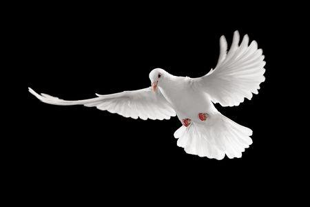 piuma bianca: volo di colomba bianca isolato su sfondo nero