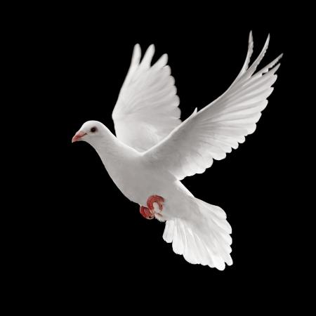 paloma blanca volando aisladas sobre fondo negro Foto de archivo - 4622597