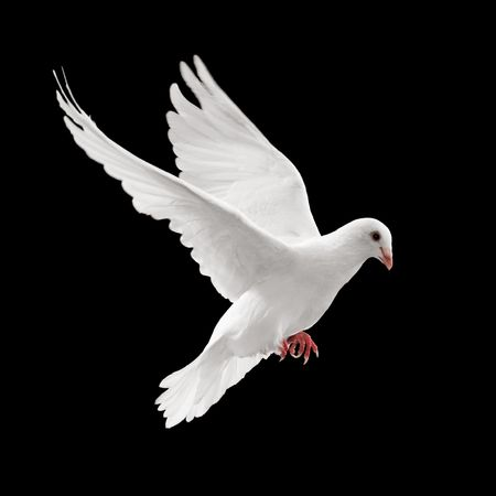 white pigeon: flying white dove isolated on black background Stock Photo