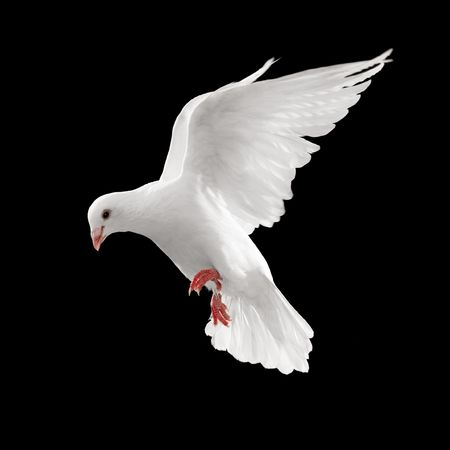 dove looks down while flying, isolated on black Stock Photo