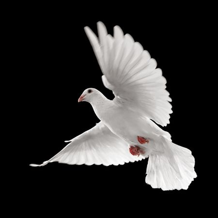 flying white dove isolated on black background photo