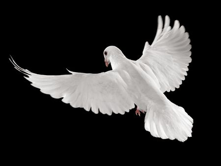 dove of peace: flying white dove isolated on black background Stock Photo