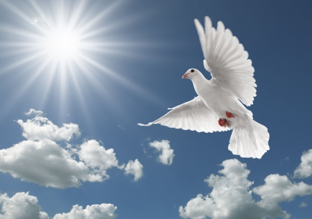 white dove: white dove flying on clear blue sky Stock Photo