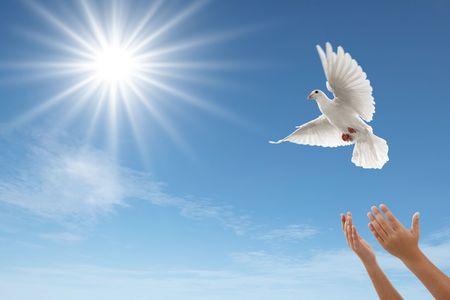 paloma de la paz: par de manos la liberación de una paloma blanca
