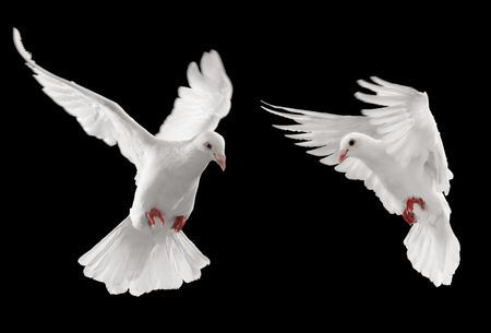 dove of peace: two doves looking at something, isolated on black background Stock Photo