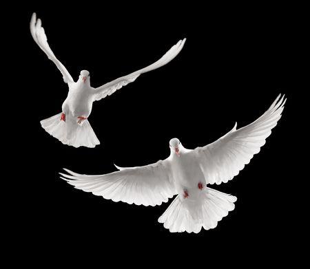 paloma blanca: disparos continuos de palomas volando hacia ti
