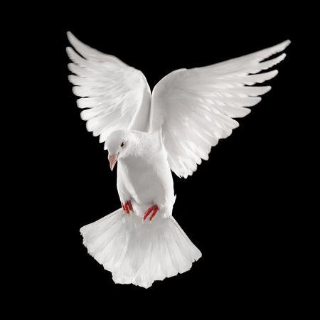 palomas volando: Paloma mirando hacia abajo mientras volaba, aislado sobre fondo negro
