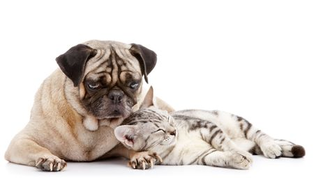 buddy: cat take a nap while pug looking after Stock Photo