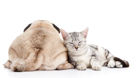 cat sleeping: dog and cat isolated on white background Stock Photo