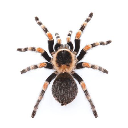 Mexican red knee tarantula en vue de dessus