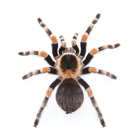 Mexican red knee tarantula from top view