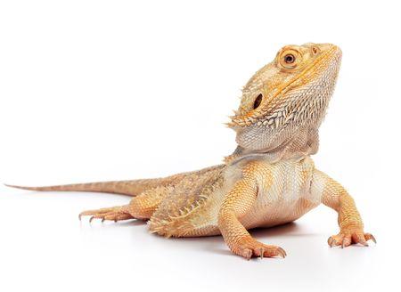 lizard: drag�n barbudo (Pogona vitticeps) aisladas sobre fondo blanco