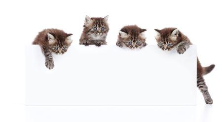 tame: cuatro gatos sosteniendo un cart�n blanco en blanco
