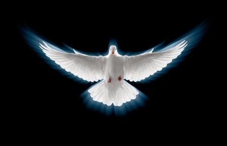 paloma blanca: Perfil frontal de una paloma blanca volador, zoom Foto de archivo