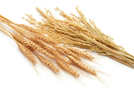 wheat ears  triticum  and rice plants  oryza  isolated on white photo