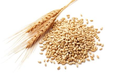 cosecha de trigo: orejas trigo Triticum y granos de trigo aislados en blanco