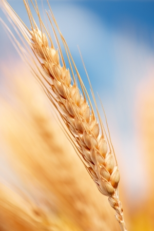 macro shot of wheat ears at the farm, shallow depth of field photo
