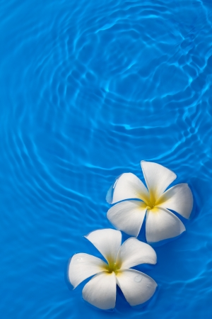 tropical flower plumeria floating on blue water photo