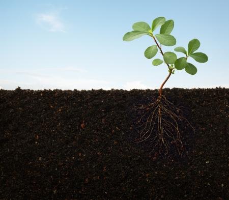 crecimiento planta: cruzar vista en secci�n de una planta con ra�ces