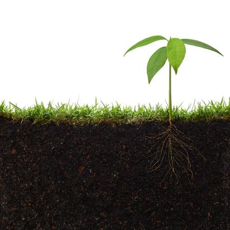 siembra: cruzar vista en secci�n de una planta con sus ra�ces Foto de archivo