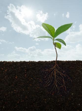 soil: vista in sezione di una pianta con radici Archivio Fotografico