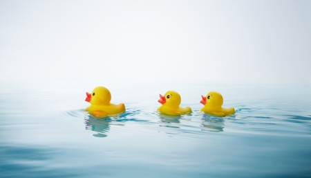 swimming bird: two yellow rubber ducklings following mother duck