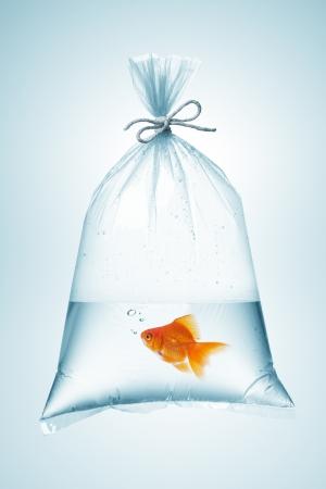 Goudvissen in plastic zak, vastgebonden met touw Stockfoto - 25278412
