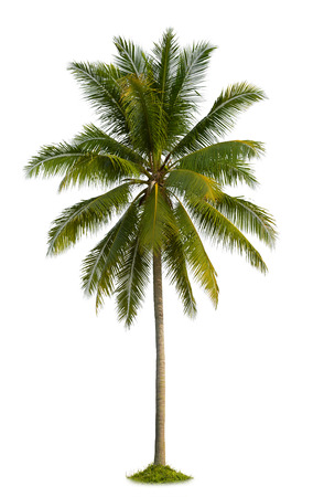 coconut palm tree isolated on white background photo
