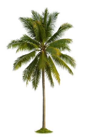 coconut palm tree isolated on white background photo
