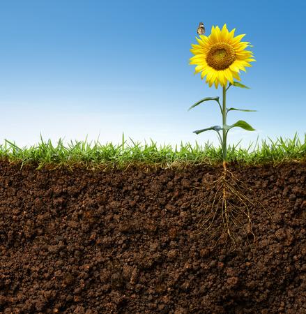 herbe ciel: vue en coupe transversale de tournesol avec des racines et papillon sur elle Banque d'images