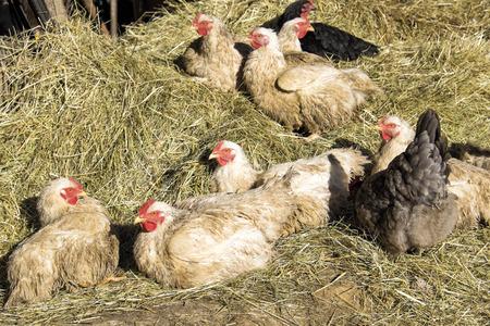 Hens on the farm Reklamní fotografie