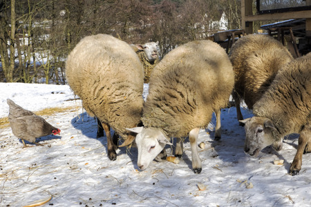 Sheep and hen on the farm in winter
