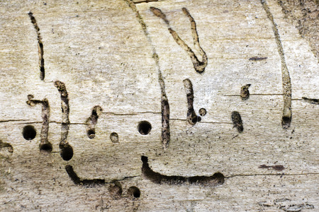 Old wood texture attacked by woodworm Reklamní fotografie