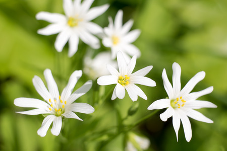 White flowers on a spring meadow