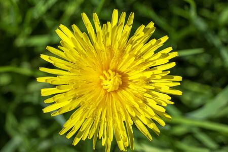 Close up photo of a dandelion flower