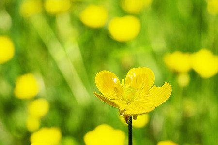 Yellow flowers on a spring meadow