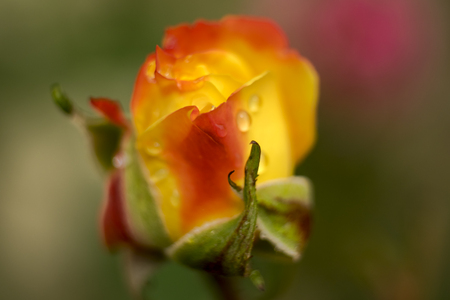 Close up photo of a rosebud on a green background