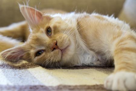 Resting cat on a sofa Reklamní fotografie
