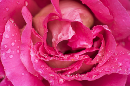 Roses flower in pink color
