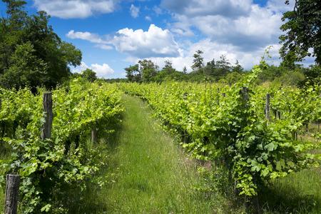 Vineyard at summer
