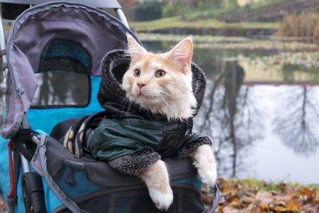 Cat in a stroller on a trip dressed in jacket