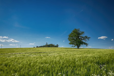 Old lonely tree in summer landscape