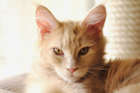 Portrait of Maine Coon Kitty