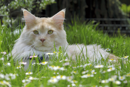 Portrait of Maine Coon Cat lying in a blossoming meadow