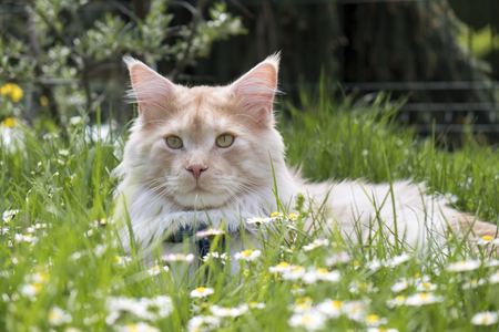 Portrait of Maine Coon Cat in a blossoming meadow