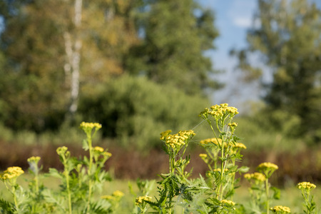 Meadow in morning sun with yellow flowers in the foreground