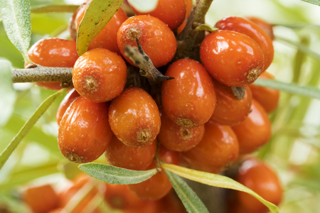 Close up photo of a ripe and fresh Sea buckthorn on a twig